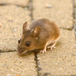 Can rodents and pests eat or penetrate spray foam